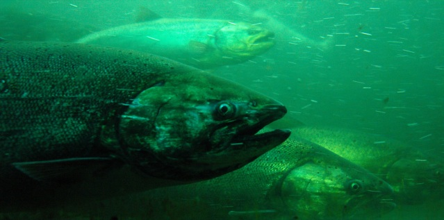 Chinook_salmon1