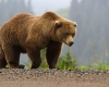 An Alaska brown/grizzly bear/U.S. Fish and Wildlife Service photoAn Alaska brown/grizzly bear/U.S. Fish and Wildlife Service photo