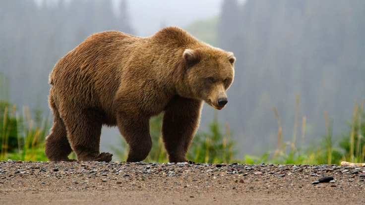 Image-w-cred-cap_-1200w-_-Brown-Bear-page_-brown-bear-in-fog_2