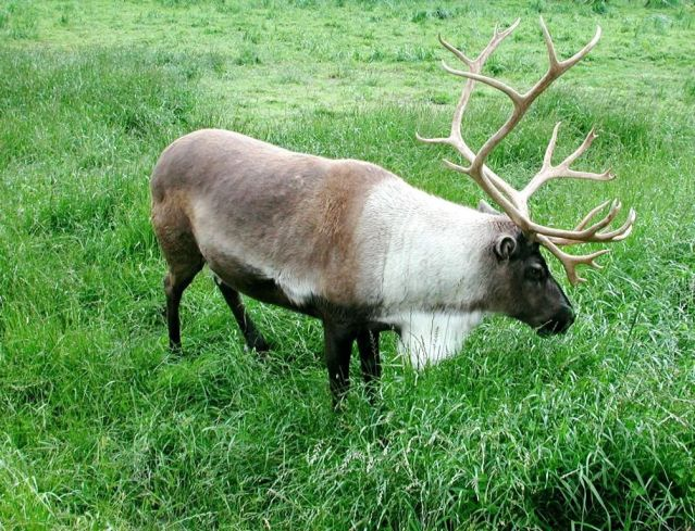 Caribou_animal