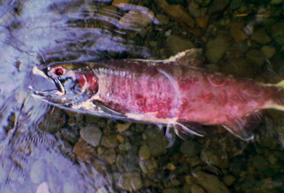 Why do salmon die craig medred for How to season fish