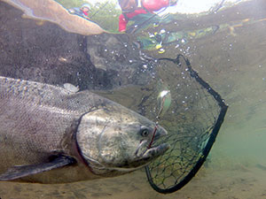 adfg_chinook_with_lure_net