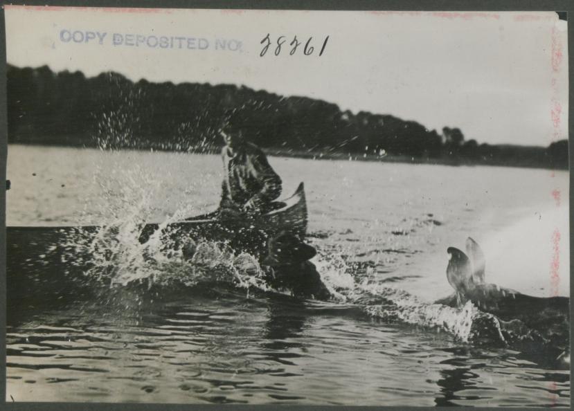 Canoe_man_riding_cow_moose_(HS85-10-28261).jpg
