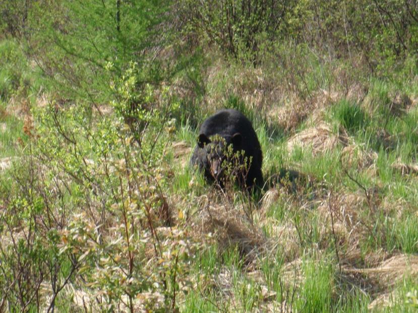 Rob Foster Black Bear