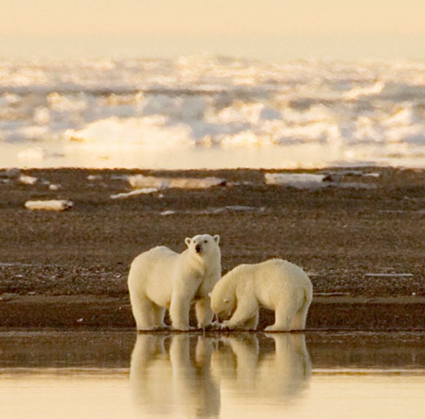 polar bears steve hildebrand usfws