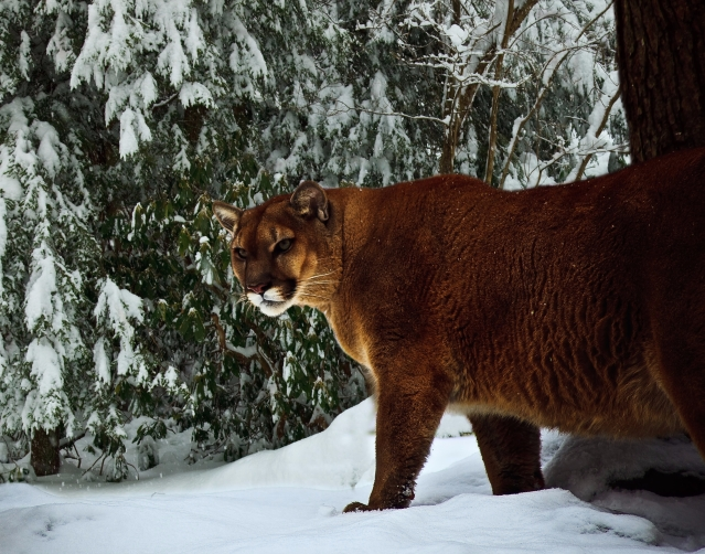mountain-lion-winter-forest-snow_-_west_virginia_-_forestwander.jpg