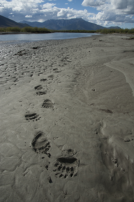Brown bear tracks along the Noatak River, Gates of the Arctic National Park.